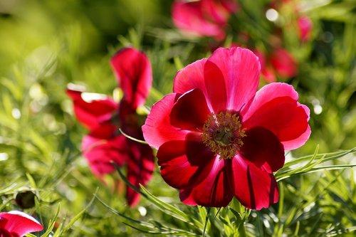 Anemone, raudona, raudona Zawilec, gėlė, raudona gėlė, žiedas, žydi, pobūdį, fonas