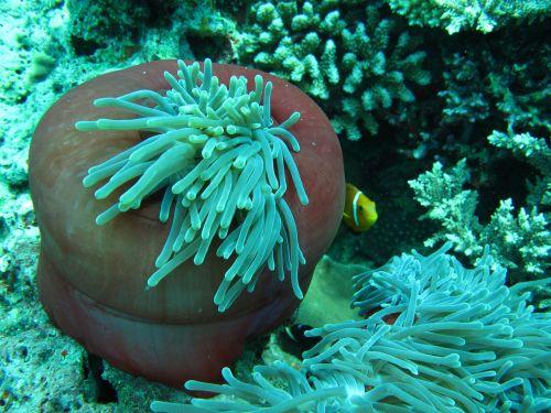 anemonis,klouna žuvis,Maldyvai,panardinimas,jūra