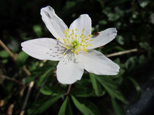 Anemone nemorosa, medžio anemone, vėjo žiedas, krūtinėlė, kvapas lapė, flora, wildflower, žiedas, augalas, rūšis, botanika, makrokomandas