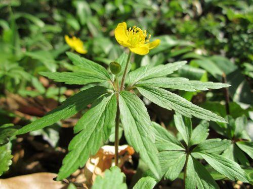 geltonas anemonis, anemonis ranunculoides, hahnenfußgewächs, Satchel, buschwindröschen, Anemone, geltonos spalvos, gėlė, geltona medžio anemone, augalų, žiedų, spyruoklė, Wildflower, uždaryti iki, makro, laukinių augalų, geltonas anemonis, geltona medžio anemone, buttercup anemone, Wildflower, floros, botanika, planavimas, rūšis
