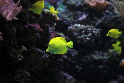 angelas,žuvis,jūra,jūrų,povandeninis,gyvūnas,atogrąžų,gyvenimas,laukinė gamta,vandens,sūrus vanduo,egzotiškas,povandeninis vanduo,ekosistemos,padaras