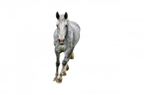 gyvūnas, balta, arabų, dapple-pilka, izoliuotas, arklys, žinduolis, Iškirpti, horizontalus, aktyvus, ūkis, vienas, Iškirpti, juoda, pilka, pilka, objektas, Mare, gyvuliai, šokti, kūnas, spalva, jodinėjimas, grynakraujis, fonas, gyvūnas
