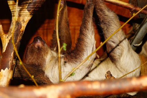 gyvūnas,sloth,Uždaryti,miegoti,medis,priklausyti,filialas,poilsis,tingus