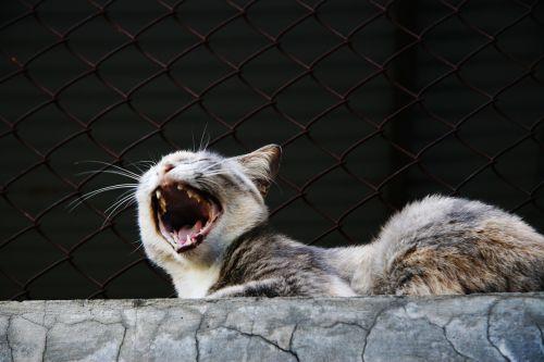 žiovulys,katė,gyvūnas,naminis gyvūnėlis,portretas,naminis katinas,lauke
