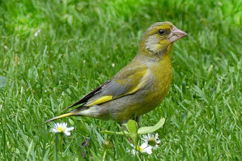 gyvūnas,paukštis,žalias pinchas,chloras chloris,maitinimas,sodas