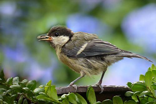 gyvūnas,paukštis,paauglys jaunas,Parus majoras,maitinimas,sodas
