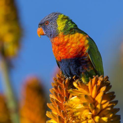 gyvūnas,paukštis,spalvinga,spalvinga,gėlė,makro,gamta,plumėjimas