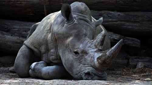 gyvūnas,didelis,pilka,didelis,didelis,žinduolis,raganos,laukiniai,laukinė gamta