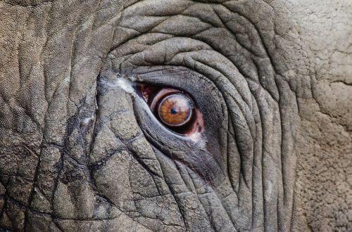gyvūnas,didelis,Iš arti,dramblys,nykstantis,akis,veidas,pilka,galva,didelis,didelis,žinduolis,safari,svarstyklės,tekstūra,laukiniai,laukinė gamta,raukšlės