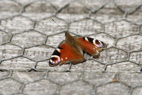 gyvūnas,drugelis,Povas monarchas,monarchas,klaida,oranžinė,sparnai