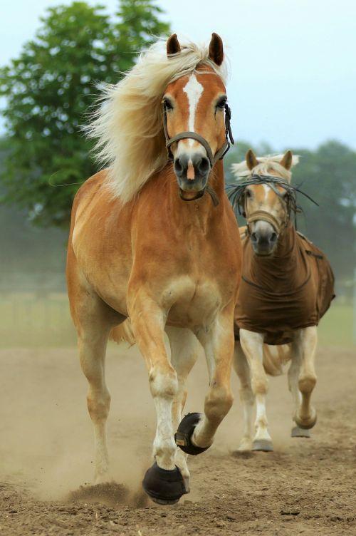 gyvūnas,arklys,arkliai,gyvūnai,ponis,ruda,gamta,arkliai,Žiurkė,kumeliukas,ūkis,veisliniai arkliai