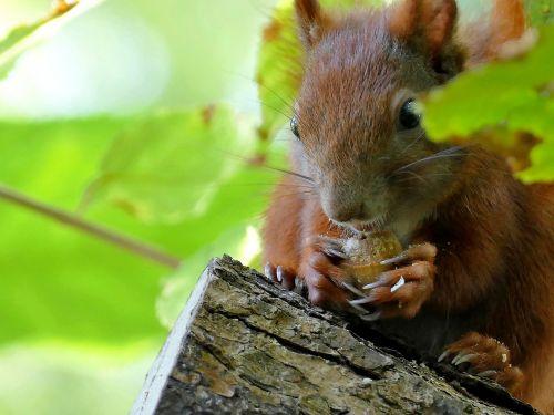 gyvūnas,voverė,medis,stebėjimas,sodas,sėdi,padaras,miško gyvūnai,miškas,vasara,mielas,pūkuotas,valgyti,nager,kailis,Uždaryti