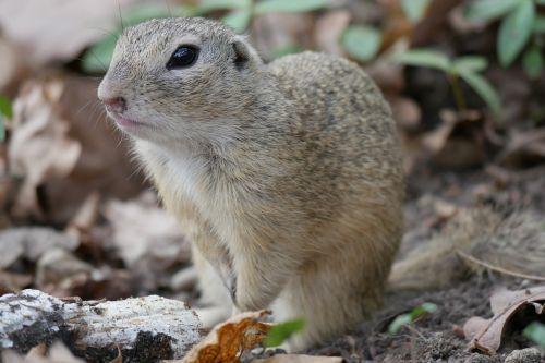 gyvūnas,žemės voverė,kruopos,gophers,nager,kailis,auksinė malta voverė,pūkuotas,europinė sausoji voverė,mielas