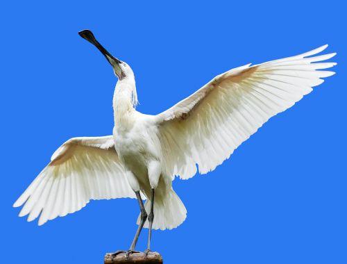 gyvūnas,paukštis,heronas,šaukštas heronas,Löffler,sparnas,skristi,plunksna,sąskaitą