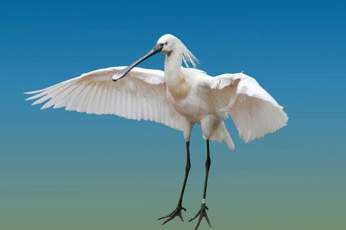 gyvūnas,paukštis,heronas,šaukštas heronas,sparnas,izoliuotas,plunksna,skristi,sąskaitą