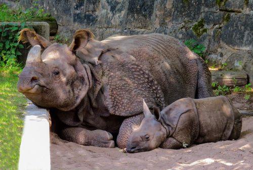 gyvūnas,Rhino,pachyderm,Rhino baby,panzer,nürnberger tiergarten,mažai raganos