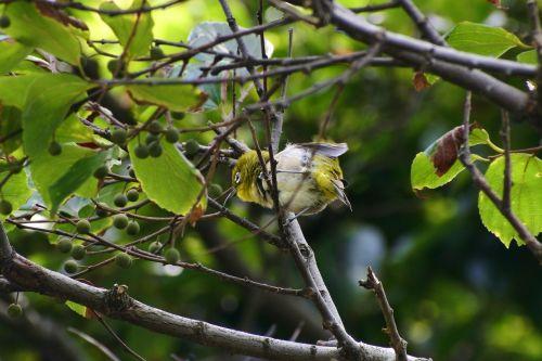 gyvūnas,miškas,mediena,žalias,mažas paukštelis,japonų balta akis,balta,laukiniai paukščiai,laukinis gyvūnas,vasara,natūralus,kraštovaizdis