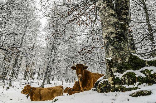 Gyvūnas, Karvės, Žinduolis, Vidaus, Ūkio Gyvūnai, Kaimas, Gyvuliai, Ranča, Naminiai Gyvūnai, Sezonas, Balta, Šaltas, Ledas, Sniegas, Žiema, Šaltis, Snieguotas, Sušaldyta, Lauke, Oras, Sniegas, Saunus, Ledinis, Sniegas, Blizzard, Sniegas