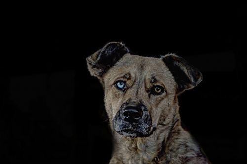 gyvūnas,šuo,vaizdo redagavimas,naminis gyvūnėlis,veidas,mėlynas,akys,bi spalva,gyvūnų portretas,snukis,galva,portretas,laukinės gamtos fotografija,redaguota,šunų portretas