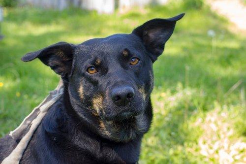 gyvūnas, šuo, žinduolis, portretas, augintinė, šunų, sėdėti