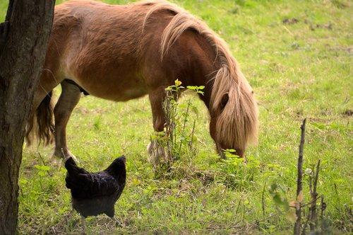 gyvūnas, gyvūnai, Pony, višta, galinis kiemas, iš anksto, gyvūnija, mažas arklys, ganyklos, gyvenimas kartu