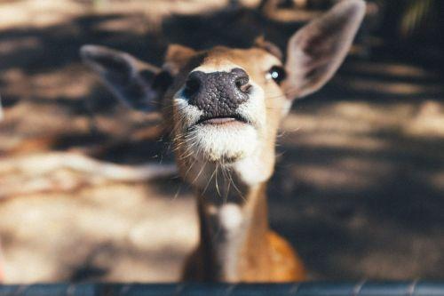 gyvūnas,nosis,įdomu,mielas,žinduolis,portretas,juokinga,galva,žavinga,snoopy,žavus,veidas,ausys,ruda,mielas,elnias