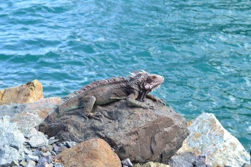 gyvūnai,egzotiškas,iguana