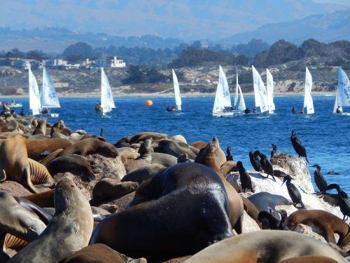 gyvūnai,juros liutai,burlaivis,jūros gyvūnai,ruoniai,jūros paukščiai,vanduo,Monterėjaus įlanka,vandenynas,įlanka,mėlynas,balta