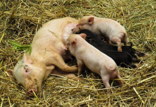 gyvūnai,kiaulė,naminė kiaulė,paršelis,čiulpti,maitinti,badas,jaunoji kiaulė,Žemdirbystė,ūkis