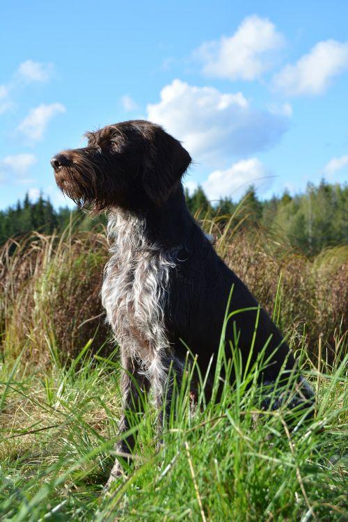 gyvūnai, veja, gamta, šuo, lauke, žinduolis, mielas, vasara, portretas, Švedijos vasara, gražiai, Švedija, mėlynas, mėlynas dangus, be honoraro mokesčio