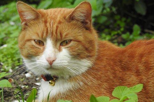 gyvūnai, žavus, žinduoliai, pobūdį, katė, dachowiec, Rudy, naminė katė, sėdi katė, normalus katė, kačiukas, ieško katė, katės akis, katinas