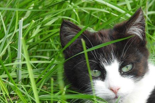 gyvūnai, žavus, pobūdį, katė, dachowiec, iš katės galva, juoda ir balta, ieško katė, normalus katė, sėdi katė, gyvūnas, naminė katė, ramus katė, ne iš teismo, augintinė, juoda katė, Kačių Staring, kačiukas