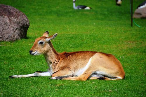 antilopė,ličiuko antilopė,lechwe,kobus leche,Afrikos antilopė,waterbuck,ličis,gyvūnai,kobus,pelkinė antilopė,raudona,rausvai,kailis