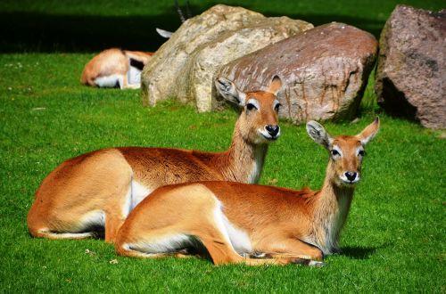antilopė,ličio pelkių antilopės,lechwe,kobus leche,Afrikos antilopė,waterbuck,ličis,gyvūnai,kobus,pelkinė antilopė,raudona,rausvai,kailis