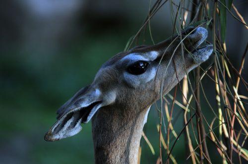 žiagyvių kaklo & nbsp, antilopė, antilopė, elnias, valgymas, zoologijos sodas, medis, gerenuk, gyvūnas, laukiniai, Iš arti, valgyti antilopę