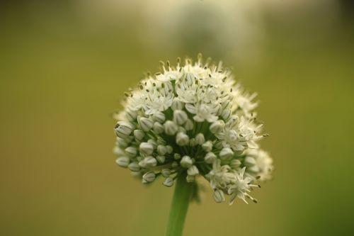 dulkės,svogūninės gėlės,gėlė,balta,makro,svogūnai,gėlių,augalas,žydėti,sodas,gamta,umbel,žiedynas,sudėtinis umbelas,racemozės žiedynas,gėlės makro,sodininkystė,žydi,botanika,žalias,augimas,natūralus