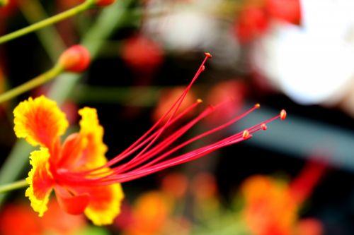 raudona & nbsp, gėlė, raudona & nbsp, žiedlapiai, žiedlapiai, tekstūra, žiedlapiai & nbsp, tekstūros, modelis, apvalus, žiedadulkės, sėklos, ilgas & nbsp, antelis, antetas, dulkės
