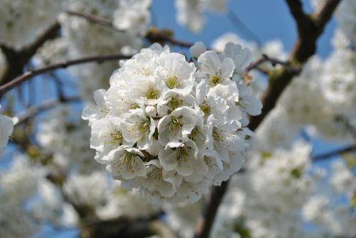 obuolys,žiedas,žydėti,obuolių žiedas,gamta,obelų žiedas,augalas,balta,žiedas,vaisiai,Obuolių medis,sodas,Uždaryti