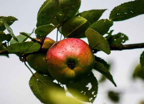 obuolys,Uždaryti,lašelinė