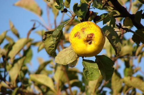 obuolys,obuolių juokinga,juokinga,vaisiai,vaismedis,geltona,gamta