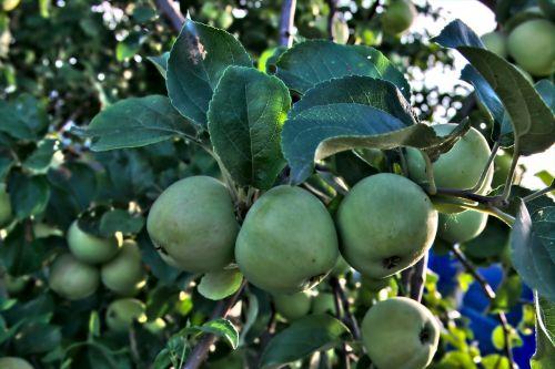 obuolys,Obuolių medis,lakštas,medis,vasara,filialo obuolys,vaisiai,obuoliai,sodas,obuoliai filiale,Iš arti,gamta,krupnyj planas,šakelė su lapais,žali lapai,žalias,daržovių sodas,lapai,makro,ne subrendęs