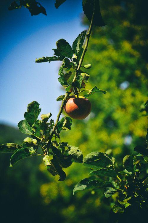obuolys,medis,sodas,obuolių gėlė,vaisiai,vaisinga obelinė,obuoliai,padėklų medienos plaušiena,vaismedžių medis,obelys