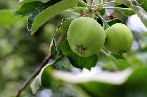 Apple, liūdnas, pobūdį, vasara, padėklų medienos masė, vaisių, obuoliai, medis, Sodas, Lenkija, kaimas, Apple Orchard, vaismedžių, žalia maisto, Sveikas maistas