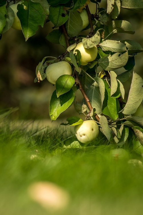 Apple, obuoliai, vaisių, medis, Sodas, pobūdį, liūdnas, vasara, augalų, padėklų medienos masė, papierówki, Rinkiniai