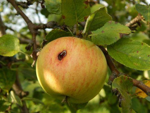 obuolys,vaisiai,medis,padėklų medienos plaušiena,vaisinga obelinė,filialas su obuoliais