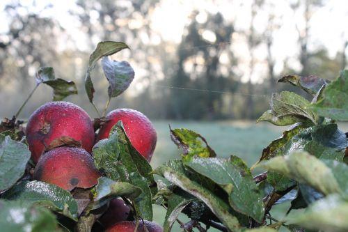 obuolys,rasa,žalias,rasos rasos,lapai,šlapias,Morgentau,lašas vandens,Rasos lašai,šaltas,raudona