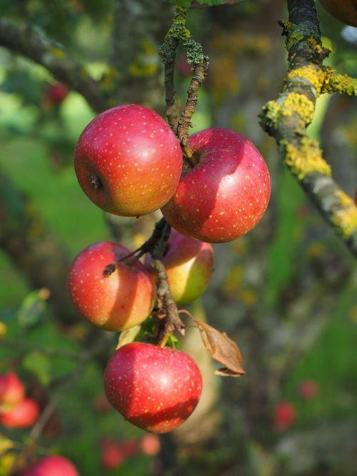 obuolys,raudonasis boskopas,boskopas,boskopas,šliužo fermentas,obuolių veislė,obuolių kultūra,žieminiai obuoliai,odiniai obuoliai,Obuolių medis,vaisiai,raudona,frisch,sveikas,vitaminai,vaisių sodas,graži Bosnija iš,grazus iš Bosnijos,Montforto fermentas