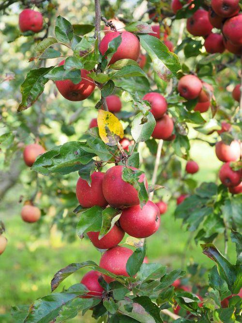 obuolys,Obuolių medis,vaisiai,raudona,frisch,sveikas,vitaminai,vaisių sodas,raudonasis boskopas,boskopas,boskopas,šliužo fermentas,obuolių veislė,obuolių kultūra,žieminiai obuoliai,odiniai obuoliai,prinokę,vaisiai