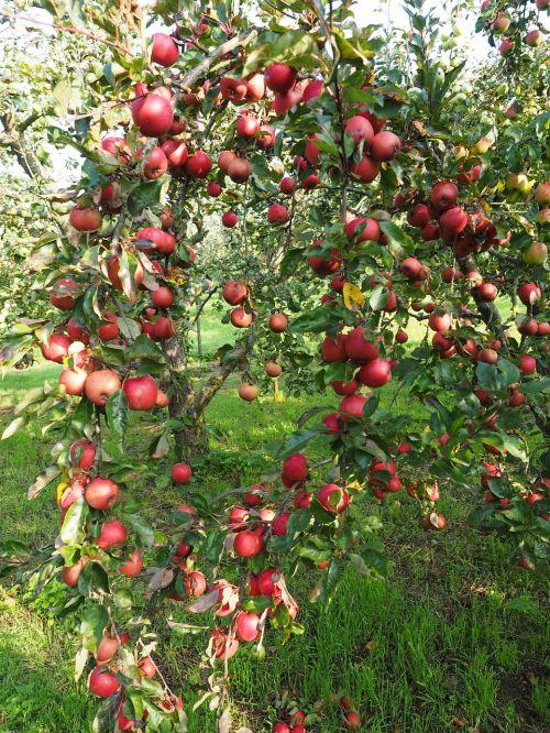 obuolys,Obuolių medis,vaisiai,raudona,frisch,sveikas,vitaminai,vaisių sodas,raudonasis boskopas,boskopas,boskopas,šliužo fermentas,obuolių veislė,obuolių kultūra,žieminiai obuoliai,odiniai obuoliai