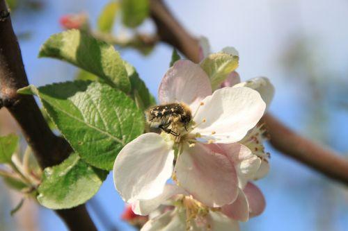 obuolys,vabalai,gėlės,apdulkinimas,apdulkinimas,vabzdžiai,augalai,pavasaris